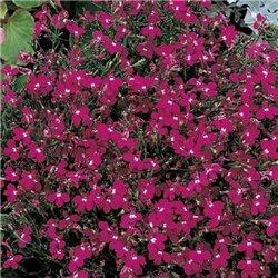 Семена лобелии Ривьера темно-розовой