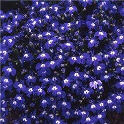 Насіння лобелії Рів'єра темно-синій з вічком