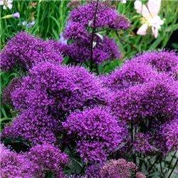 Семена Трахелиум Пессион фиолетовый
