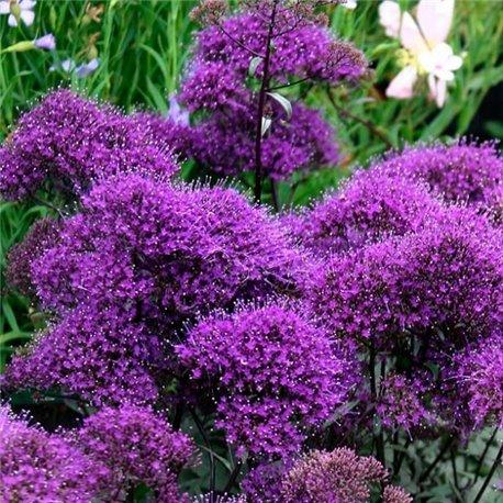 Насіння лобелії Трахеліум Пессіон фіолетовий