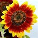 Соняшник декоративний